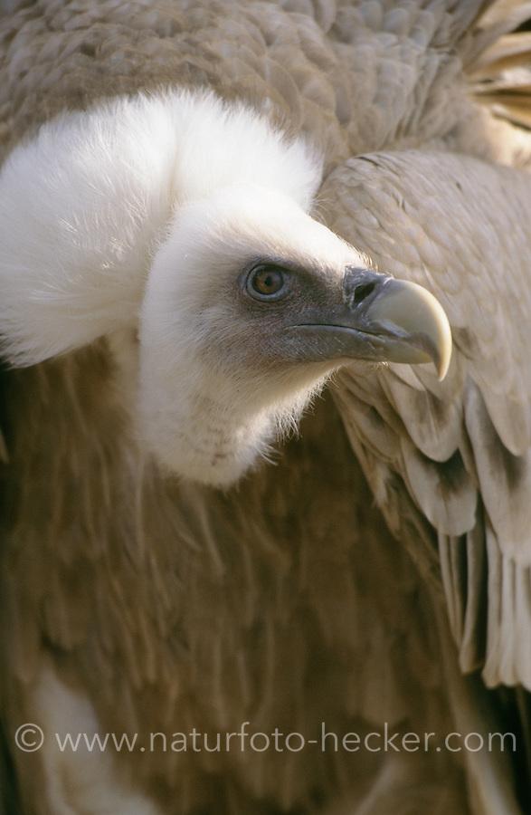 Gänsegeier, Portrait, Gänse-Geier, Geier, Gyps fulvus, griffon vulture