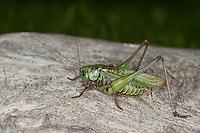 Warzenbeißer, Warzenbeisser, Männchen, Decticus verrucivorus, wart-biter, wart-biter bushcricket