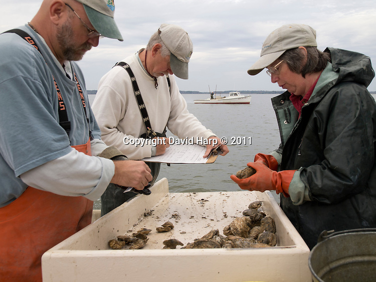 Biologists from the Maryland Department of Natural Resources measure  and count oysters in the Choptank River  as part of a Chesapeake Bay survey to monitor the health of the species and the traditional fishery.