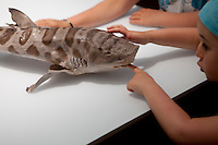 A girl touches the teeth of a preserved Leopard Shark at the shark exhibition, Musée Océanographique, Monaco, 5 July 2013. This exhibition, in place until 2015, aims to dispel the myths and fears surrounding the shark, today under threat of extinction.
