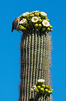 A Gila Woodpecker, Melanerpes uropygialis, feeds on flowers of a Saguaro cactus, Carnegiea gigantea, in Saguaro National Park, Arizona
