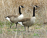 Canada geese standing in a field, probably lesser subspecies