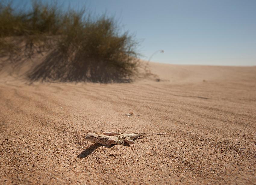 Colorado Desert Fringe-toed Lizard<br /> Uma Notada<br /> <br /> In the sand dunes of Imperial County, California.