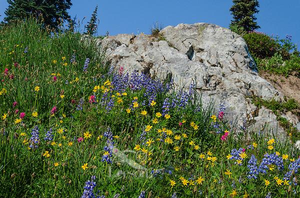 Wildflowers--lupine, arnica and paintbrush--in subalpine meadow, Central Cascade Mountain Range, WA.  Summer.