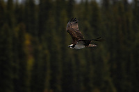Osprey, Jack Lake, Nabesna Road, Alaska.