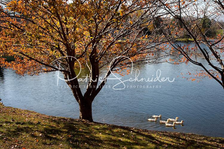 Ducks swim on a lake in the mountains of North Carolina near Junaluska.