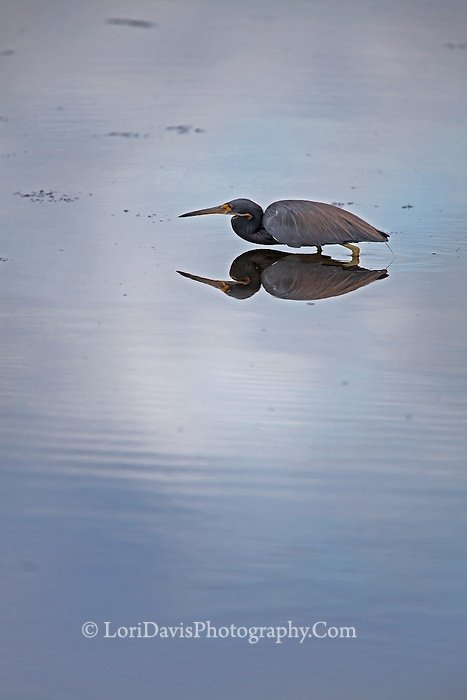 Little Blue Heron with Reflection  #H36