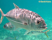 0109-1213  Horse-eye Jack (Giant-eye Jack) in Caribbean Reef, Gamefish, Caranx latus  © David Kuhn/Dwight Kuhn Photography