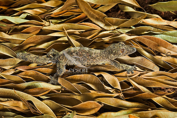 Henkel's leaf-tail gecko (Uroplatus henkeli) coloration is well adapted for camouflage in its native forests of Madagascar, such as on this floor of ficus leaves.