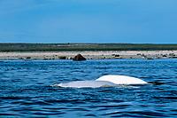 beluga whales, Delphinapterus leucas, mother and calf surfacing, Churchill River, Hudson Bay, Manitoba, Canada (Arctic)
