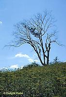 TT04-002a  American Elm - dying of Dutch Elm disease - Ulmus americana