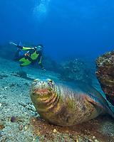Diver (MR) with a Hawaiian monk seal, Neomonachus schauinslandi, (endemic and endangered), Niihau Island, Hawaii.