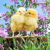 Xavier, EASTER, OSTERN, PASCUA, photos+++++,SPCHCHICKS39,#e#, EVERYDAY ,chicken