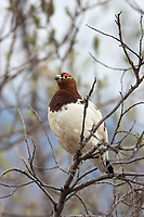 Male Willow ptarmigan, National Petroleum Reserve, Alaska.