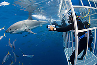 cage divers and great white shark, Carcharodon carcharias, Guadalupe Island, Mexico, Pacific Ocean