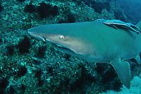 Grey Nurse Shark or sand tiger Shark, Carcharias taurus, critically endangered in Australia, Flat Rock, North Stradbroke Island, Moreton Bay Marine Park, Brisbane, Queensland, Australia, South Pacific Ocean