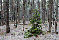 A snowy forest in Yellowstone.