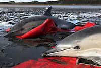 Two stranded common dolphins wait to be transported to a waiting vehicle by a team from the International Fund for Animal Welfare at Herring River in Wellfleet, MA. The dolphins are two of 7 in the latest batch of dolphins found bringing a total of over 80 stranded on Cape Cod shores in the last week.