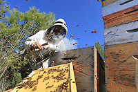 A beekeeper inspects his hives in a landscape of scrub land.///Un apiculteur inspecte ses ruches dans un paysage de garrigue. Stephane Levrero