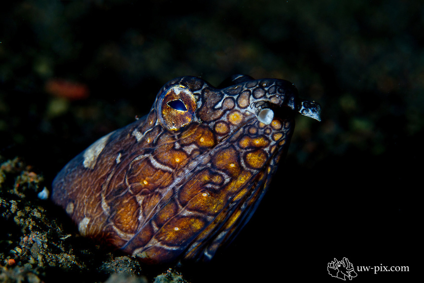 """Napoleon Snake Eel (Ophichthus bonaparti) at Tulamben, Bali, Indonesia<br /> Ophichthidae is a family of eels, comprising species commonly called worm eels and snake eels. The term """"Ophichthidae"""" comes from Greek ophis (""""serpent"""") and ichthys (""""fish"""").<br /> Ophichthids are found worldwide in tropical to warm temperate waters. They inhabit a wide range of habitats, from coastal shallows, and even rivers, to depths of above 750 metres. Most species are bottom dwellers, hiding in mud or sand to capture their prey of crustaceans and small fish, but some are pelagic.[2]<br /> Ophichthid species range from 10 centimetres (3.9 in) to 3 metres (9.8 ft) in length. Many species lack fins altogether, improving their ability to burrow into the substrate like worms. They are often spotted or striped in colour, mimicking the appearance of venomous sea snakes to deter predators."""