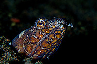 Napoleon Snake Eel (Ophichthus bonaparti) at Tulamben, Bali, Indonesia<br />