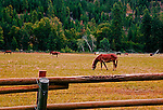 Mules at Eight Mile Ranch, operated by the U.S. Forest Service along the Chewuk River near Winthrop, WA just outside North Cascades National Park. Chewuch River