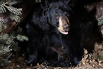 Black bear (Urs americanus) sow and cubs in a den