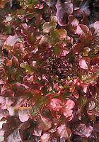 Lettuce Mascara oakleaf variety