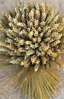 Europe/France/Ile-de-France/77/Seine-et-Marne/Provins: Confection d'un bouquet de moisson par Mme Annie Lebel