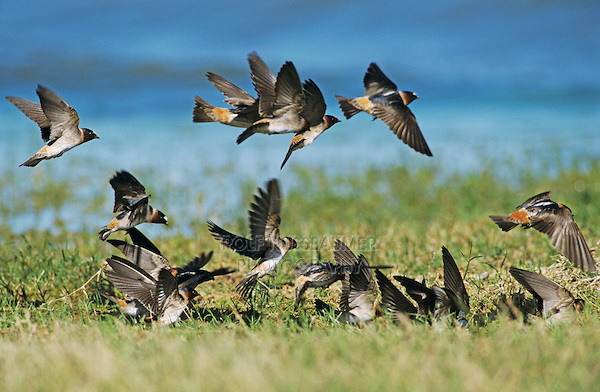 Cliff Swallow, Hirundo pyrrhonota, Mixed flock with Cave Swallow collecting Nesting Material, Choke Canyon State Park, Texas, USA