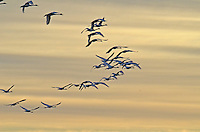 Trumpeter Swans flying south over Big Lake Alberta...