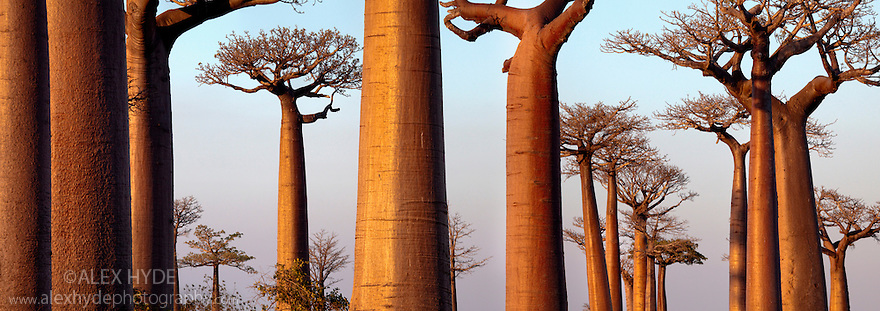Boabab trees {Adansonia grandidieri} in evening light. Morondava, Madagascar. Stitched Panorama.