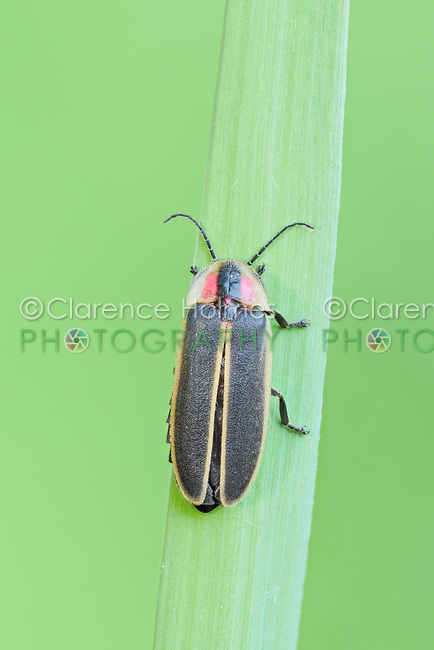 A female Synchronous Firefly (Photinus carolinus) perches on vegetation in the early morning.