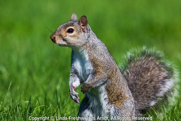 Eastern gray squirrel in northern Wisconsin.