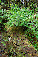 Moss and groundcover on the forest floor, Alaska, USA