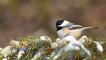 Black-capped chickadee perched in a spruce tree in northern Wisconsin.