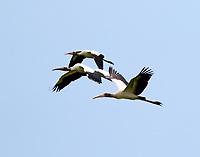 Group of wood storks
