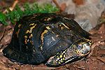 Eastern box turtle walking over dark mulch in garden full body shot looking at camera.