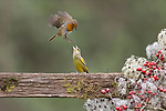 """Pictured: A robin and a greenfinch do battle on a fence. <br /> <br /> The robin flew in and began attacking the greenfinch but it refused to budge without a fight. However, after a few kicks to the head the finch conceded defeat, and the robin was left with the spoils of nearby berries. <br /> <br /> Wildlife photographer Paul Sawer, who took the pictures in Saxmundham, Suffolk, said: """"The male greenfinch landed on the fence to feed on the berries. The robin soon appeared, and the pair faced each other. <br /> <br /> Please byline: Paul Sawer/Solent News<br /> <br /> © Paul Sawer/Solent News & Photo Agency<br /> UK +44 (0) 2380 458800"""