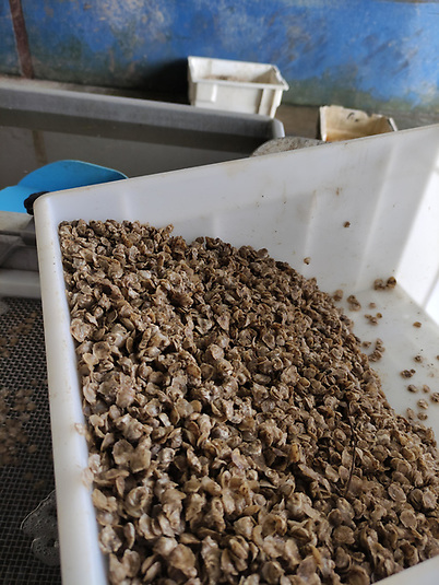 Oyster seed ready for grading at Coney Island Shellfish. Photo: Dr Ronan Cooney, NUI Galway