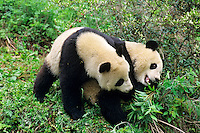Two young Giant Pandas (Ailuropoda melanoleuca) wrestle over a piece of bamboo, Wolong Nature Reserve in the Qionglai Mountains, Sichuan Province of central China.