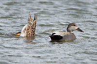 Gadwall (Anas strepera)  in Southcentral Alaska. Photo by James R. Evans