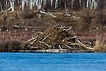 North American Beaver Lodge