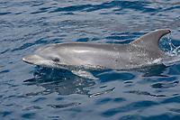 common bottlenose dolphin, Tursiops truncatus, porpoising, La Gomera, Canary Islands, Spain, Atlantic Ocean