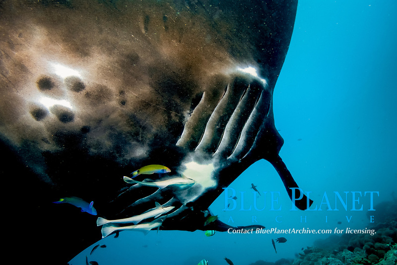 Belly of a black reef manta ray, Mobula alfredi, with remoras attached, and cleaner wrasse. note gills on manta, Raja Ampat, West Papua, Indonesia, Pacific Ocean