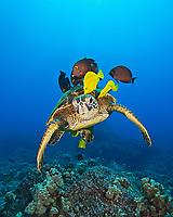 endangered species, green sea turtle, Chelonia mydas, being cleaned by yellow tang, Zebrasoma flavescens, and gold-ring surgeonfish, Ctenochaetus strigosus, Kona Coast, Big Island, Hawaii, USA, Pacific Ocean