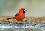 Texas, Rio Grande Valley, Santa Clara Ranch,Male  Cardinal (Cardinalis virginianus)