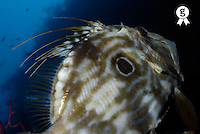 John Dory fish (Zeus Faber), Marseille, Mediterranean Sea, France (Licence this image exclusively with Getty: http://www.gettyimages.com/detail/82064702 )