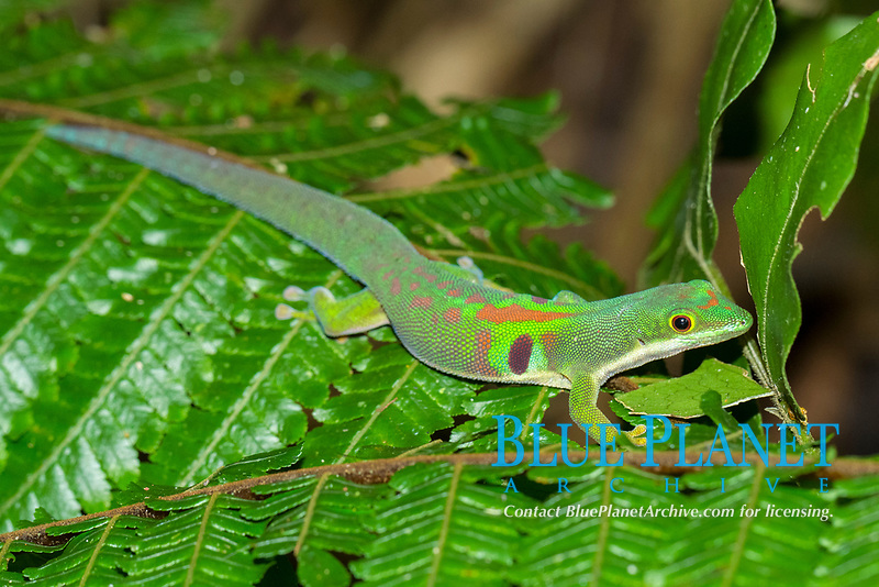 Peacock day gecko (Phelsuma quadriocellata) on fern, Marojejy National Park rainforest, northeast Madagascar, Madagascar, Africa