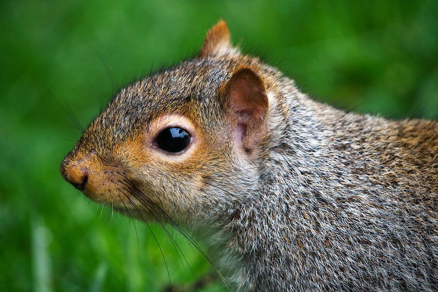Eastern gray squirrel, Snohomish, Washington, USA